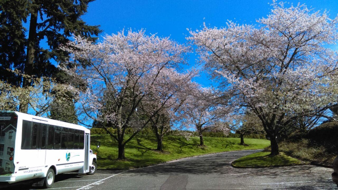 Cherry Trees